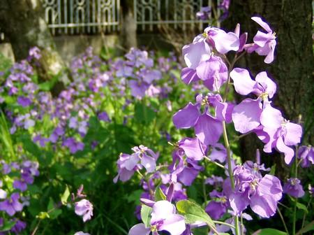 20120425hanadaikon.jpg