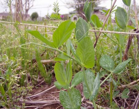 20120430growing-peas.jpg