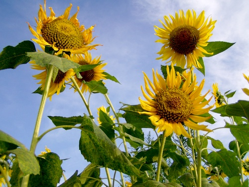 080723sunflower.jpg