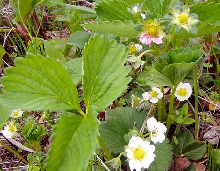 20120430flowering-strawberry.jpg