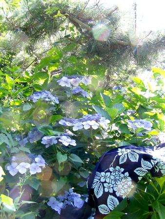 20120712ajisai.jpg